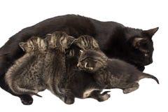 Pequeños gatitos con el gato aislado en blanco Foto de archivo