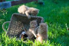 Pequeños gatitos dulces en la cesta en el patio trasero Imagenes de archivo