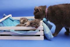 Pequeños gatitos en un cajón de madera Imagen de archivo