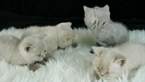 Pequeños gatitos en una piel de imitación blanca, fondo negro metrajes