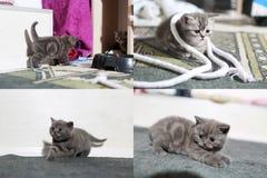 Pequeños gatitos que juegan en la alfombra con la cuerda, multicam, pantalla de la rejilla 2x2 Fotografía de archivo libre de regalías