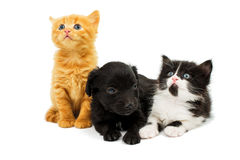 Pequeños gatitos y perrito del perro de aguas Imagen de archivo