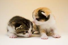 Pequeños gatos Imagen de archivo