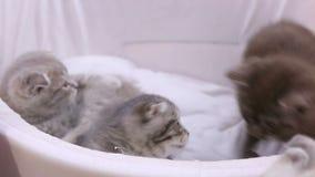 Pequeños gatos divertidos que juegan con uno a en la exposición del animal doméstico, animales hermosos almacen de metraje de vídeo