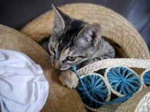 Pequeños gatos grises dulces Imagen de archivo libre de regalías