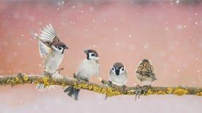 Pequeños gorriones divertidos enojados de los pájaros que se sientan en una rama en el par Imágenes de archivo libres de regalías