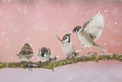 Pequeños gorriones divertidos traviesos de los pájaros que se sientan en una rama en el PA Imagen de archivo