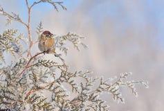 Pequeños gorriones en rama de árbol de pino Fotos de archivo libres de regalías