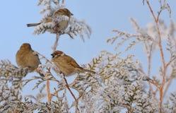 Pequeños gorriones en rama de árbol de pino Imágenes de archivo libres de regalías