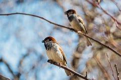 Pequeños gorriones que se sientan en una rama de árbol Foto de archivo libre de regalías