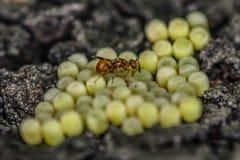 Pequeños huevos de cuidado del aboud 3m m del insecto Fotos de archivo