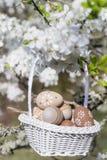 Pequeños huevos de Pascua beige en una ejecución de la cesta en las ramas de un cerezo floreciente Fotos de archivo libres de regalías