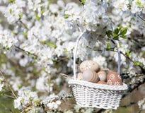 Pequeños huevos de Pascua beige en una ejecución de la cesta en las ramas de un cerezo floreciente Foto de archivo libre de regalías