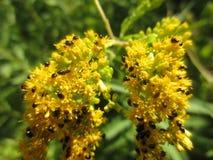 Pequeños insectos negros en vara de oro Imagen de archivo