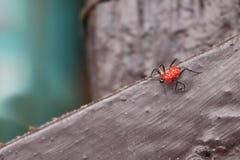 Pequeños insectos rojos en el piso Fotos de archivo