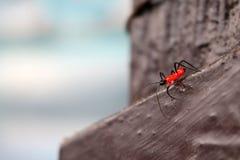 Pequeños insectos rojos en el piso Fotografía de archivo libre de regalías