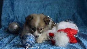 Pequeños juegos del perrito con las decoraciones de la Navidad