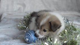 Pequeños juegos del perrito con las decoraciones de la Navidad La bola rodada lejos almacen de video