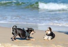 Pequeños juegos del perro Foto de archivo libre de regalías