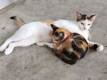 Pequeños Kitten Sleeping y magro lindos en su madre imagen de archivo libre de regalías