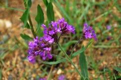 pequeños lillas de la flor Fotos de archivo libres de regalías