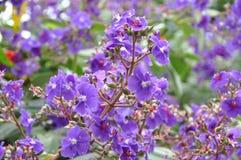 pequeños lillas de las flores Imágenes de archivo libres de regalías