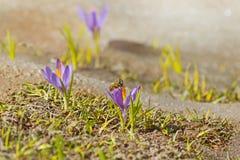 Pequeños lirios y una abeja Fotos de archivo