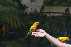 Pequeños loros amarillos que participan en el programa de la demostración Imagen de archivo libre de regalías