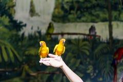 Pequeños loros amarillos que participan en el programa de la demostración Fotos de archivo libres de regalías