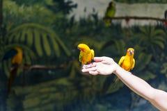 Pequeños loros amarillos que participan en el programa de la demostración Imagenes de archivo