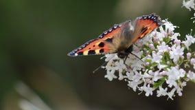 Pequeños mariposa de concha, urticae de Aglais, alimentación, vuelo y descansando sobre roca y sobre la cabeza de flor umbelífera almacen de metraje de vídeo