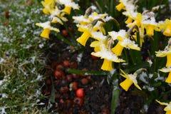 Pequeños narcisos cubiertos en copos de nieve en primavera temprana Imagen de archivo libre de regalías