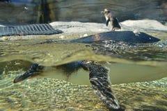 Pequeños natación y salto del pingüino con el cuerpo por encima y por debajo del agua