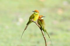 Pequeños orientalis verdes del Merops del Abeja-comedor Imágenes de archivo libres de regalías
