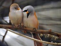 Pequeños pájaros anaranjados y azules blancos lindos que se sientan en el sujetador Foto de archivo