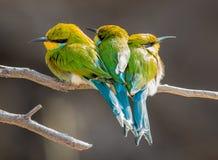 3 pequeños pájaros coloridos Fotografía de archivo