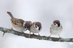 Pequeños pájaros divertidos que se sientan en un invierno del frío de la rama Imagenes de archivo