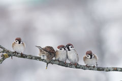 Pequeños pájaros divertidos que se sientan en un invierno del frío de la rama Foto de archivo
