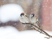 Pequeños pájaros divertidos que sientan en una rama durante las nevadas pesadas i Fotos de archivo