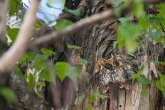 Pequeños pájaros hambrientos en jerarquía en árbol Fotos de archivo libres de regalías