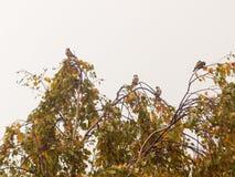 Pequeños pájaros hermosos en el top de ramas de árbol en au cubierto Foto de archivo