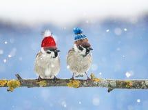 pequeños pájaros lindos en sombreros de punto divertidos en el invierno que sienta o Foto de archivo libre de regalías