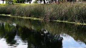 Pequeños pájaros que vuelan sobre el agua de la charca y que aterrizan en las cañas verdes almacen de metraje de vídeo