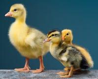 Pequeños pájaros recién nacidos lindos Fotografía de archivo