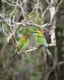 Pequeños pájaros verdes del comedor de abeja, Sri Lanka Imagen de archivo