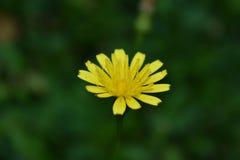 Pequeños pétalos amarillos Foto de archivo