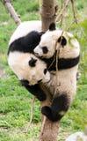 Pequeños panda en la acción Imagen de archivo