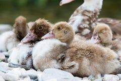 Pequeños patos Fotos de archivo libres de regalías
