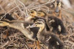 Pequeños patos Foto de archivo libre de regalías
