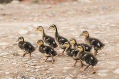 Pequeños patos Imágenes de archivo libres de regalías